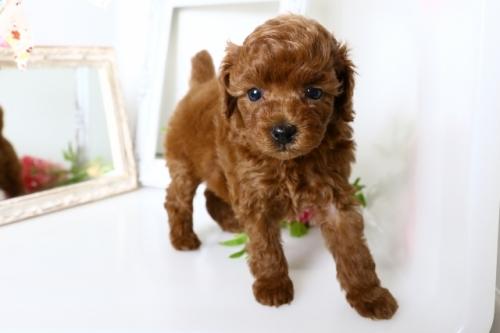 トイプードルの子犬(ID:1250011154)の2枚目の写真/更新日:2018-05-05