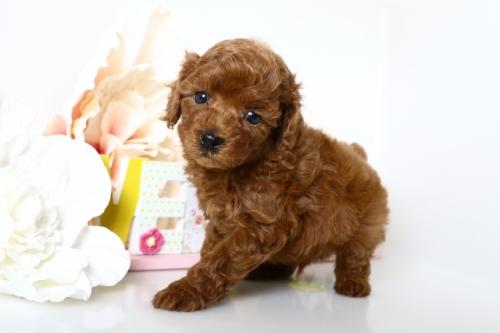 トイプードルの子犬(ID:1250011154)の3枚目の写真/更新日:2018-05-05
