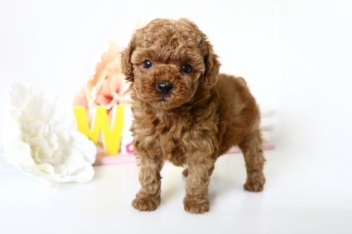 トイプードルの子犬(ID:1250011155)の1枚目の写真/更新日:2018-05-05