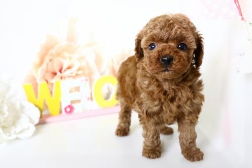 トイプードルの子犬(ID:1250011155)の2枚目の写真/更新日:2018-05-05