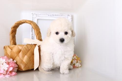 トイプードルの子犬(ID:1250011156)の1枚目の写真/更新日:2018-05-12