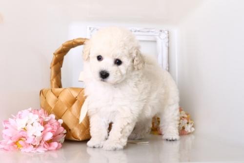 トイプードルの子犬(ID:1250011156)の2枚目の写真/更新日:2018-05-12