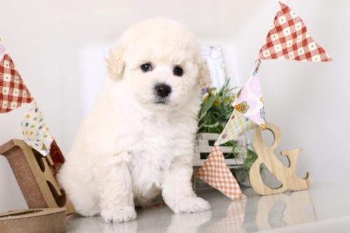 トイプードルの子犬(ID:1250011156)の3枚目の写真/更新日:2018-05-12