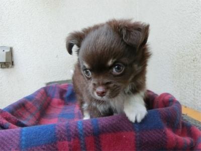 チワワ(ロング)の子犬(ID:1250311085)の3枚目の写真/更新日:2018-06-18