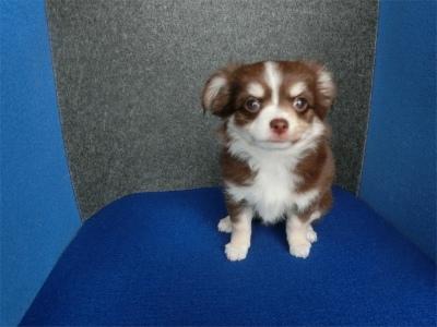 チワワ(ロング)の子犬(ID:1250311086)の2枚目の写真/更新日:2018-06-28