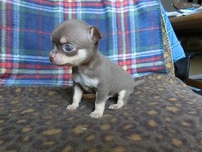 チワワ(スムース)の子犬(ID:1250311087)の1枚目の写真/更新日:2017-04-05
