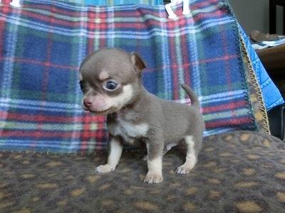 チワワ(スムース)の子犬(ID:1250311087)の3枚目の写真/更新日:2017-04-05