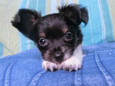 チワワ(スムース)の子犬(ID:1250311088)の1枚目の写真/更新日:2017-04-05