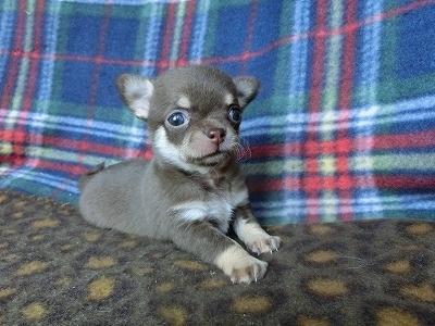 チワワ(スムース)の子犬(ID:1250311089)の1枚目の写真/更新日:2017-04-05