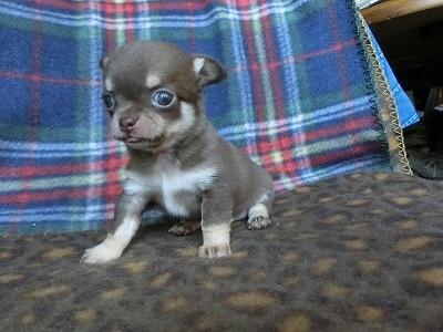 チワワ(スムース)の子犬(ID:1250311089)の2枚目の写真/更新日:2017-04-05