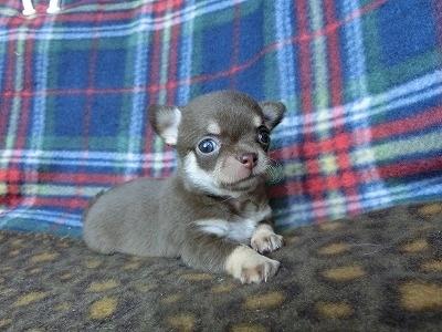チワワ(スムース)の子犬(ID:1250311089)の3枚目の写真/更新日:2017-04-05