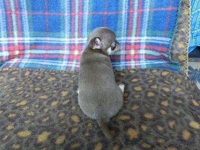 チワワ(スムース)の子犬(ID:1250311089)の4枚目の写真/更新日:2017-04-05