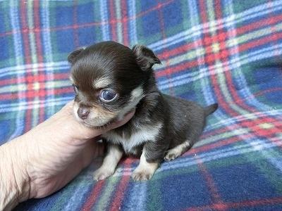 チワワ(ロング)の子犬(ID:1250311091)の1枚目の写真/更新日:2017-04-05