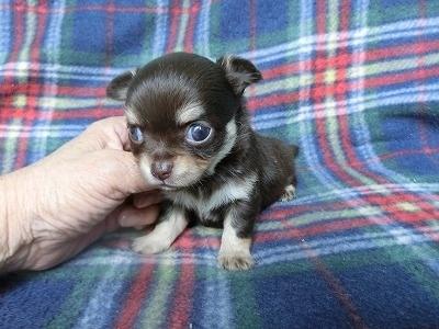 チワワ(ロング)の子犬(ID:1250311091)の3枚目の写真/更新日:2017-04-05