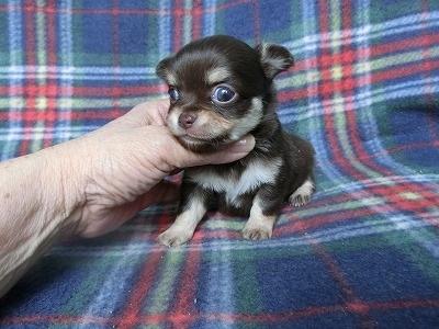 チワワ(ロング)の子犬(ID:1250311091)の4枚目の写真/更新日:2017-04-05