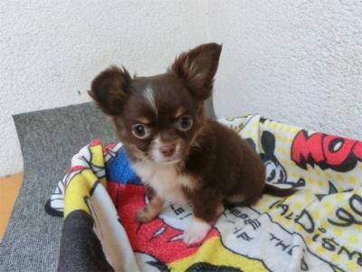 チワワ(スムース)の子犬(ID:1250311092)の1枚目の写真/更新日:2017-04-05