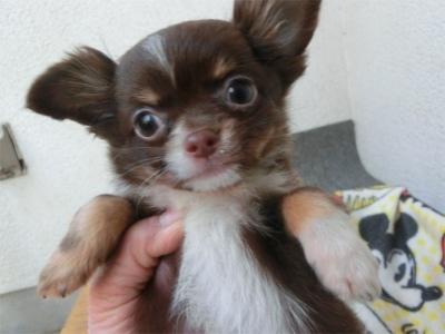 チワワ(スムース)の子犬(ID:1250311092)の3枚目の写真/更新日:2017-04-05
