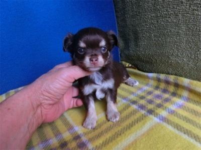 チワワ(ロング)の子犬(ID:1250311093)の1枚目の写真/更新日:2018-09-12
