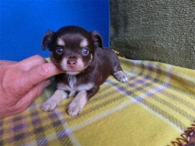 チワワ(ロング)の子犬(ID:1250311093)の4枚目の写真/更新日:2018-09-12