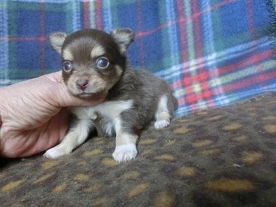 チワワ(ロング)の子犬(ID:1250311094)の1枚目の写真/更新日:2017-05-06