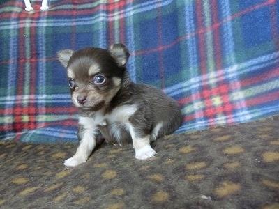 チワワ(ロング)の子犬(ID:1250311094)の2枚目の写真/更新日:2017-05-06