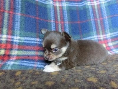 チワワ(ロング)の子犬(ID:1250311094)の4枚目の写真/更新日:2017-05-06