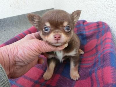 チワワ(スムース)の子犬(ID:1250311095)の2枚目の写真/更新日:2018-09-12