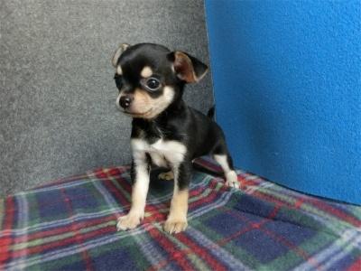 チワワ(ロング)の子犬(ID:1250311096)の1枚目の写真/更新日:2018-09-12