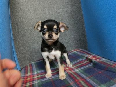 チワワ(スムース)の子犬(ID:1250311096)の2枚目の写真/更新日:2017-09-25