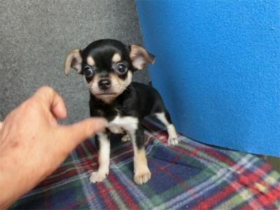 チワワ(ロング)の子犬(ID:1250311096)の3枚目の写真/更新日:2018-09-12