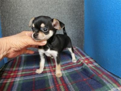 チワワ(スムース)の子犬(ID:1250311096)の4枚目の写真/更新日:2017-10-30