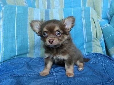 チワワ(ロング)の子犬(ID:1250311097)の4枚目の写真/更新日:2019-03-18