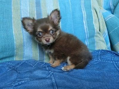 チワワ(ロング)の子犬(ID:1250311097)の5枚目の写真/更新日:2019-03-18