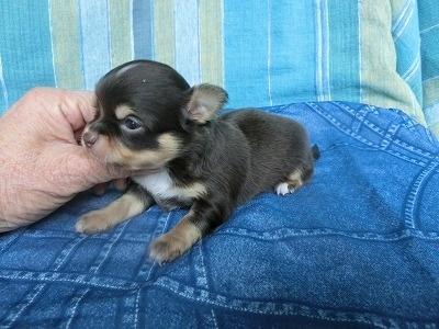 チワワ(スムース)の子犬(ID:1250311098)の2枚目の写真/更新日:2017-09-25