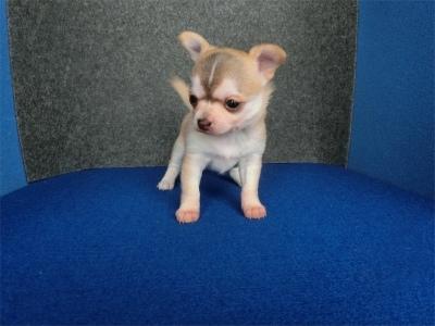 チワワ(ロング)の子犬(ID:1250311099)の1枚目の写真/更新日:2018-12-16