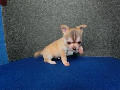 チワワ(スムース)の子犬(ID:1250311099)の4枚目の写真/更新日:2017-09-25
