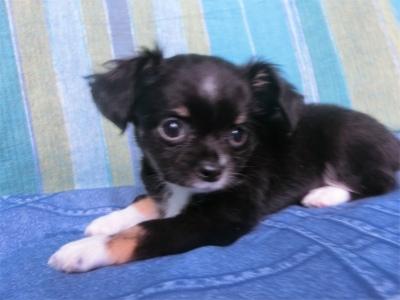 チワワ(ロング)の子犬(ID:1250311100)の1枚目の写真/更新日:2018-12-16