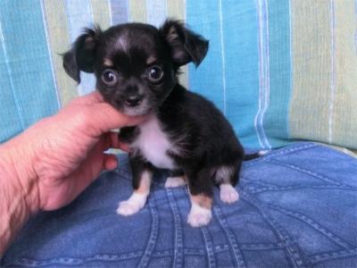 チワワ(ロング)の子犬(ID:1250311100)の2枚目の写真/更新日:2017-09-25