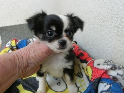 チワワ(ロング)の子犬(ID:1250311101)の1枚目の写真/更新日:2017-09-25