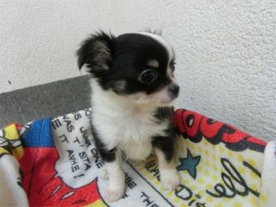 チワワ(ロング)の子犬(ID:1250311101)の2枚目の写真/更新日:2017-09-25