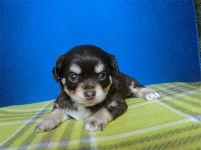 チワワ(スムース)の子犬(ID:1250311103)の1枚目の写真/更新日:2017-09-25