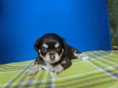チワワ(ロング)の子犬(ID:1250311103)の3枚目の写真/更新日:2021-07-25