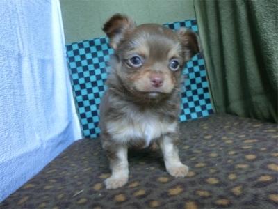 チワワ(ロング)の子犬(ID:1250311104)の1枚目の写真/更新日:2019-04-11