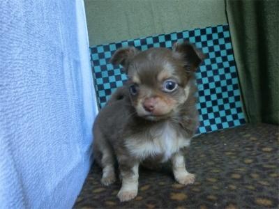 チワワ(スムース)の子犬(ID:1250311104)の2枚目の写真/更新日:2017-09-25