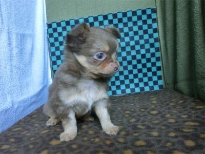 チワワ(スムース)の子犬(ID:1250311104)の3枚目の写真/更新日:2017-09-25