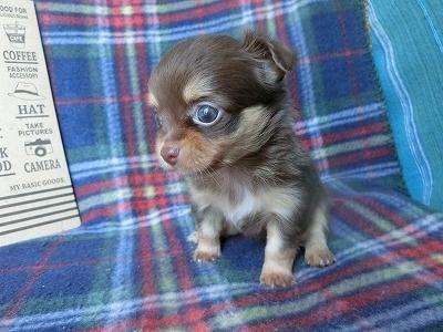 チワワ(ロング)の子犬(ID:1250311105)の1枚目の写真/更新日:2017-09-25
