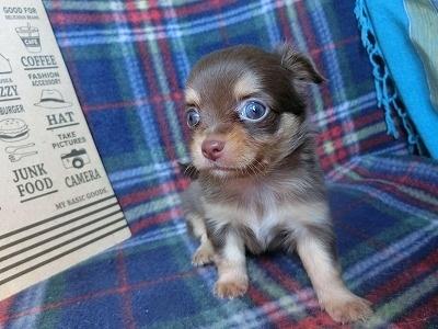 チワワ(ロング)の子犬(ID:1250311105)の2枚目の写真/更新日:2017-09-25
