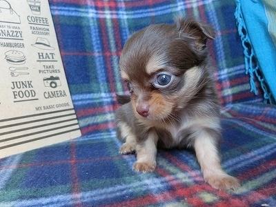 チワワ(ロング)の子犬(ID:1250311105)の3枚目の写真/更新日:2017-09-25