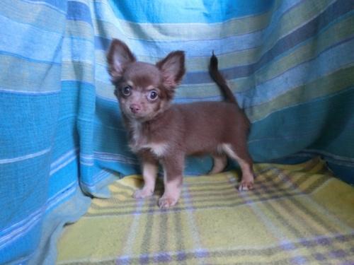 チワワ(ロング)の子犬(ID:1250311106)の1枚目の写真/更新日:2019-08-05