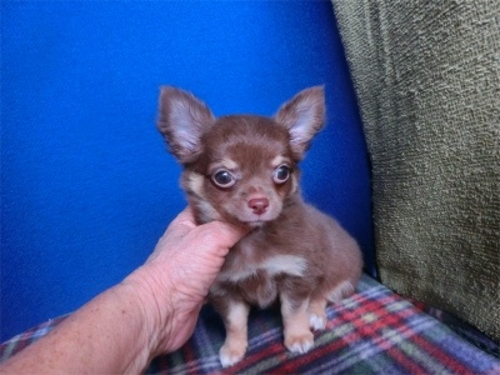 チワワ(ロング)の子犬(ID:1250311106)の2枚目の写真/更新日:2017-11-16